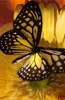 Butterfly in Yellow